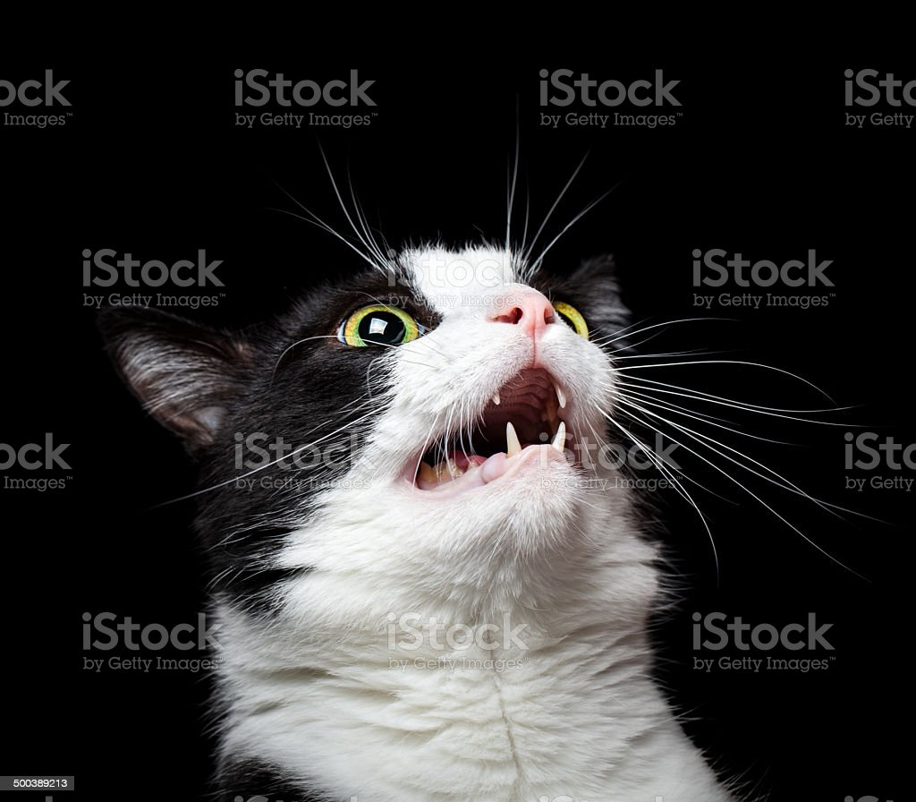 Portrait of an angry (or surprised) cat on black background stock photo