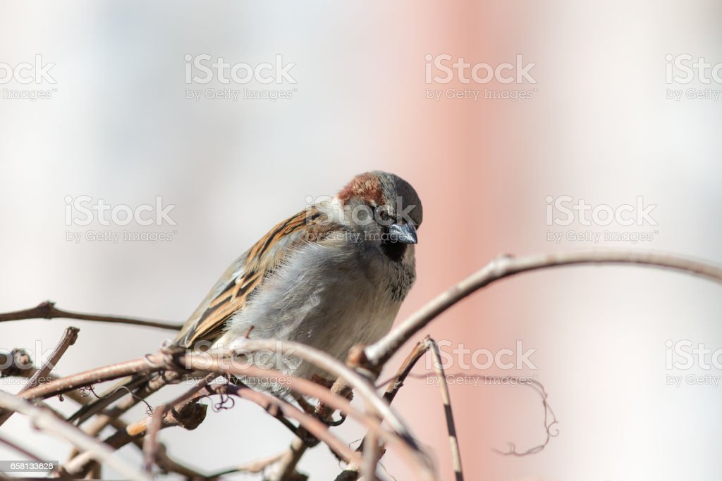 Portrait of an angry sparrow royalty-free stock photo