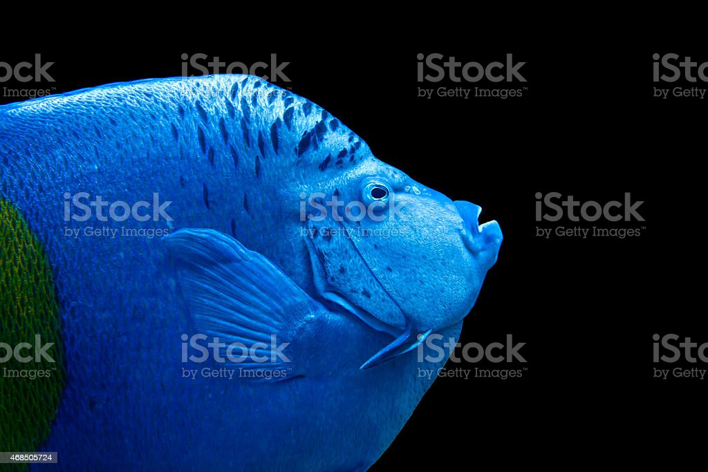 Portrait of an Arabian Angelfish stock photo