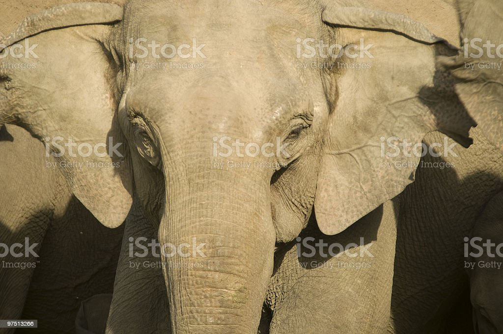 Portrait of an Asian Elephant royalty-free stock photo