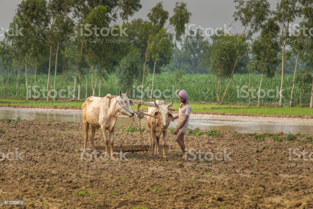 Portrait of an Asian farmer standing in rice field stock photo