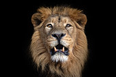 Portrait of a male asiatic lion against a dark background.