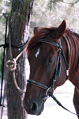 portrait of an attentive curious chestnut young stallion in the forest. Beautiful red horse portrait on nature background. Horse on the farm on a sunny day. Closeup Photo of a Brown Horse