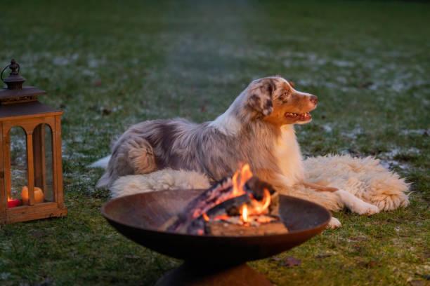 Portrait of an Australian Shepherd, by the campfire. Dog lies on fur coat at dusk.