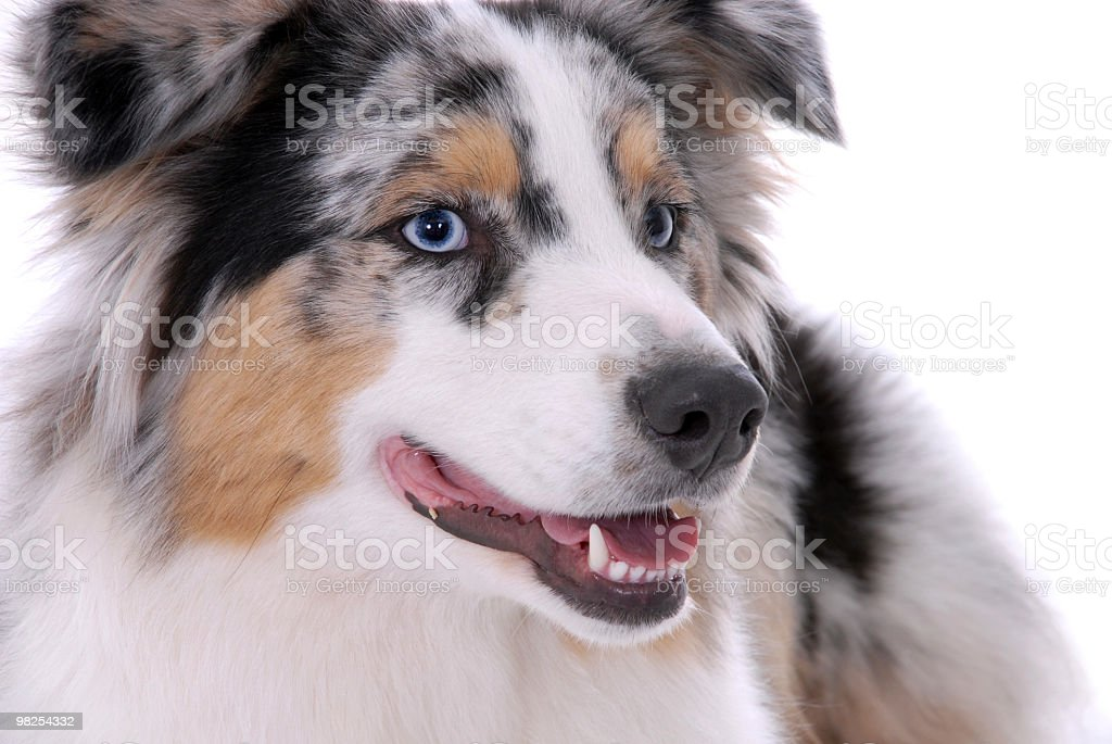 Portrait of an Australian Shepherd royalty-free stock photo