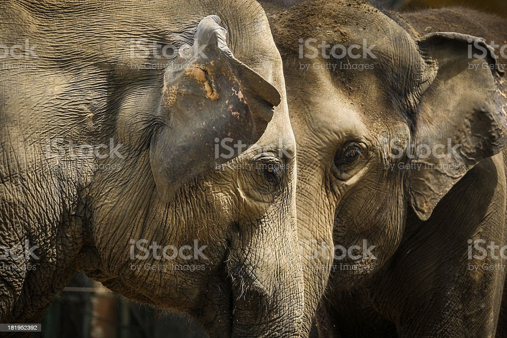 Portrait of an couple elephant royalty-free stock photo
