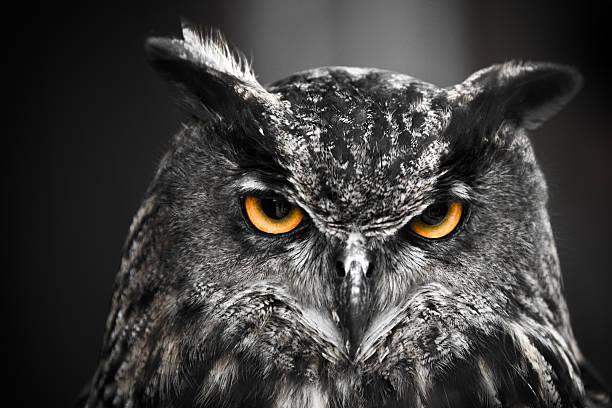 Portrait of an eagle owl picture id459894707?b=1&k=6&m=459894707&s=612x612&w=0&h=zmjsst8dpbfd0k66gsdfd0neywu2qoqr uscoxp1k40=