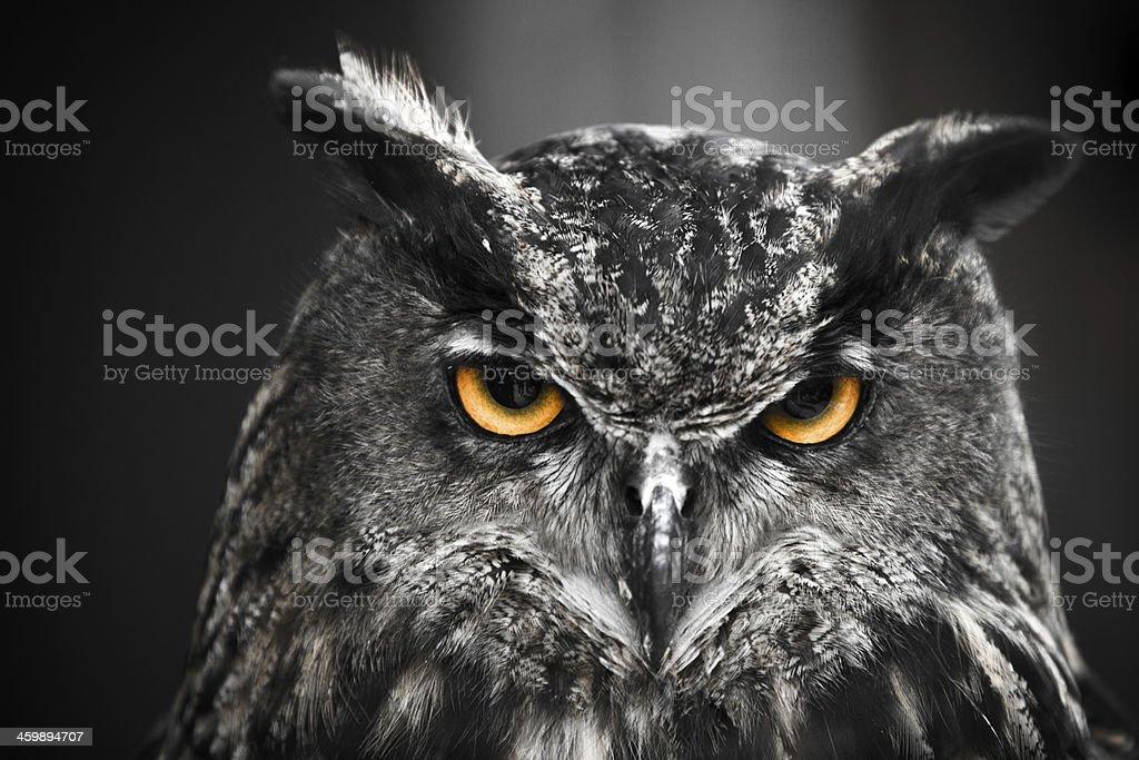 Portrait of an Eagle Owl stock photo