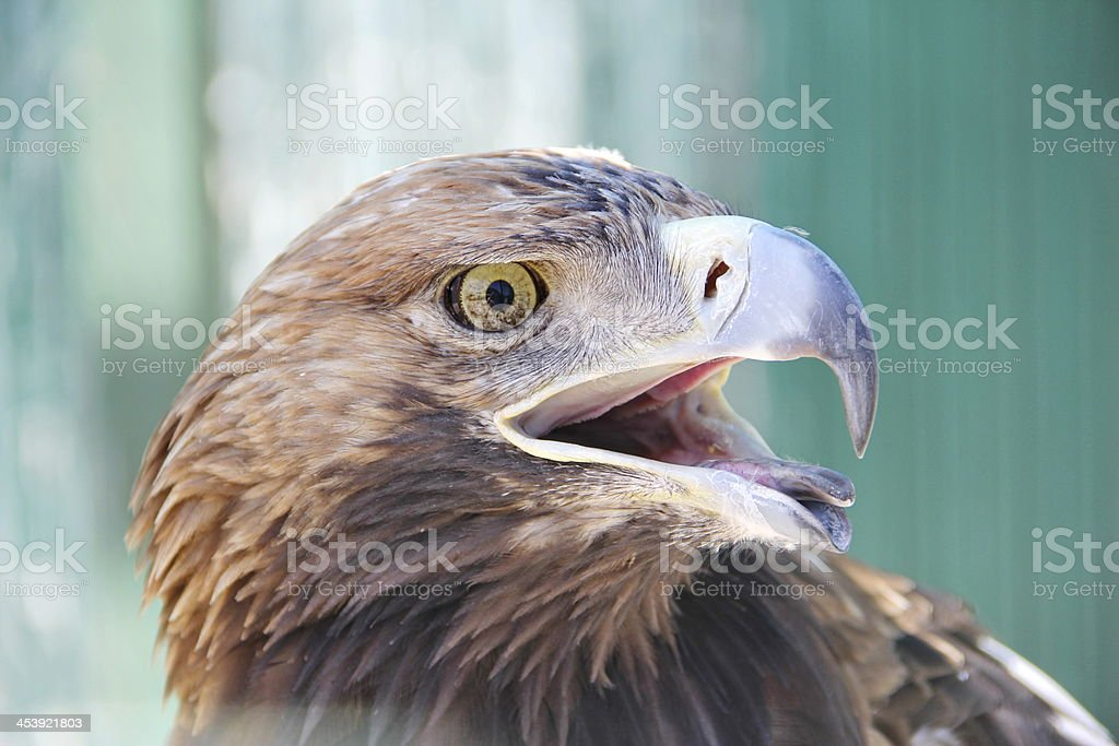 Portrait of an eagle royalty-free stock photo