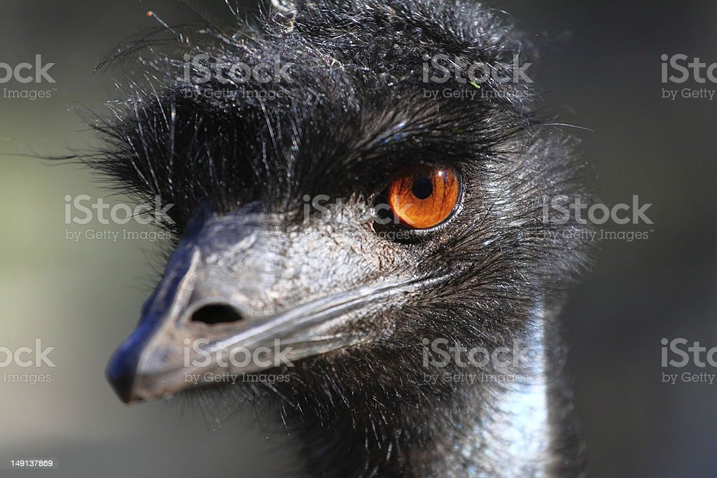 Portrait of an Emu stock photo