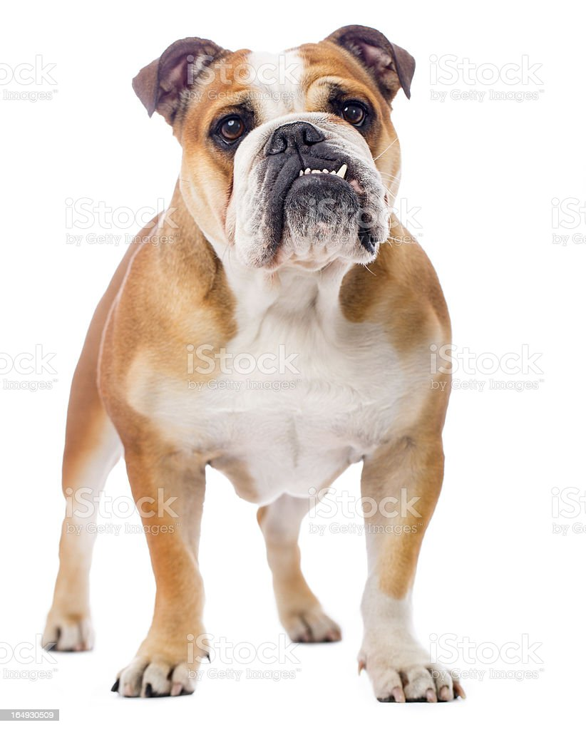Portrait d'un Bouledogue anglais - Photo