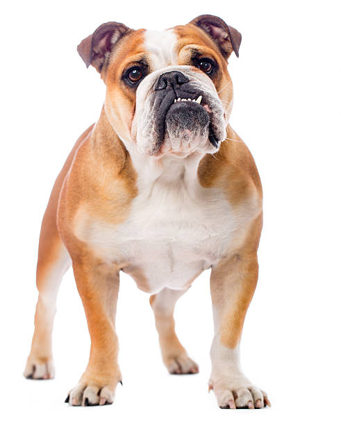 Portrait of an English Bulldog stock photo