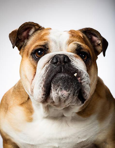 porträt von eine englische bulldogge - alvarez stock-fotos und bilder