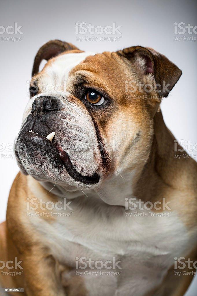 Portrait of an English Bulldog stock photo