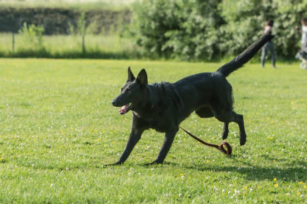 Portrait of an german sheperd dog living in belgium picture id1006852708?b=1&k=6&m=1006852708&s=612x612&w=0&h=rth1gslgh4zbw8io4 sx6vcmxgbnnrtmna1twbhrqa0=