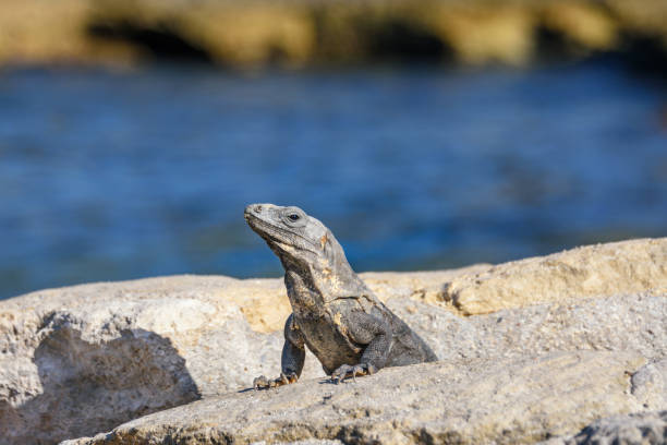 Portrait of an Iguana Lizard sunbathing on a rock at the Mayan ruins. Riviera Maya, Quintana Roo, Mexico Portrait of an Iguana Lizard sunbathing on a rock at the Mayan ruins. Riviera Maya naya rivera stock pictures, royalty-free photos & images