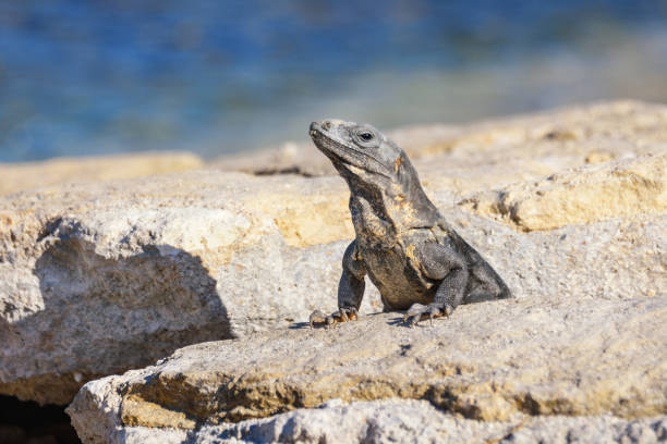Portrait of an Iguana Lizard sunbathing on a rock at the Mayan ruins. Riviera Maya, Quintana Roo, Mexico Portrait of an Iguana Lizard sunbathing on a rock at the Mayan ruins naya rivera stock pictures, royalty-free photos & images