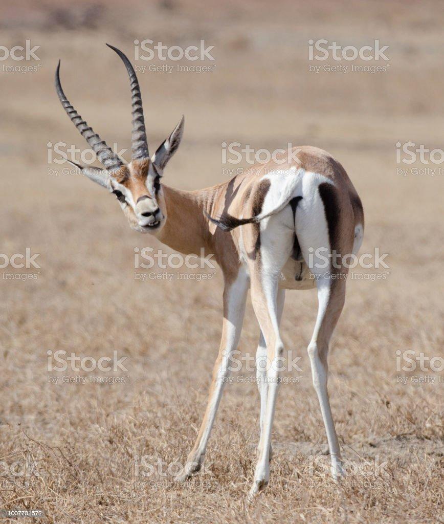 Portrait of an Impala in Ngorongoro Crater, Tanzania,Africa stock photo