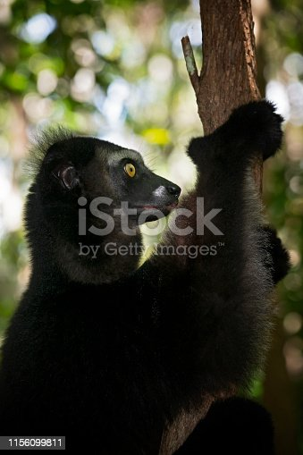 A portrait of an Indri Lemur (Indri Indri), close-up shot in wildlife. The indris (sometimes also called Babakoto) is one of the largest living lemurs and as all lemurs it is endemic to the island of Madagascar, Africa.