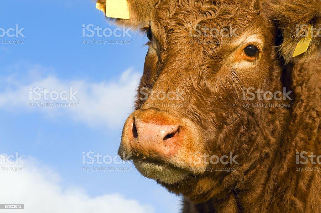 Portrait of an irish cow royalty-free stock photo