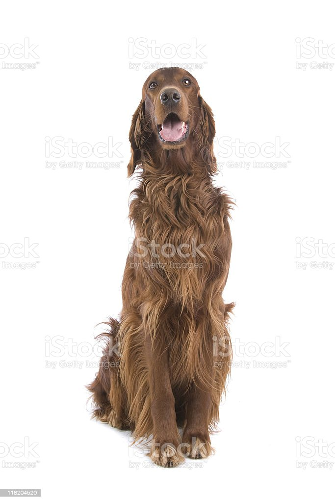 Portrait of an Irish setter dog isolated on white stock photo