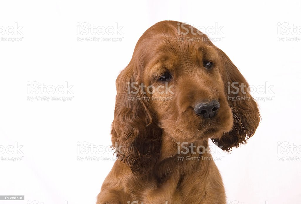 Portrait of an Irish Setter Pup stock photo