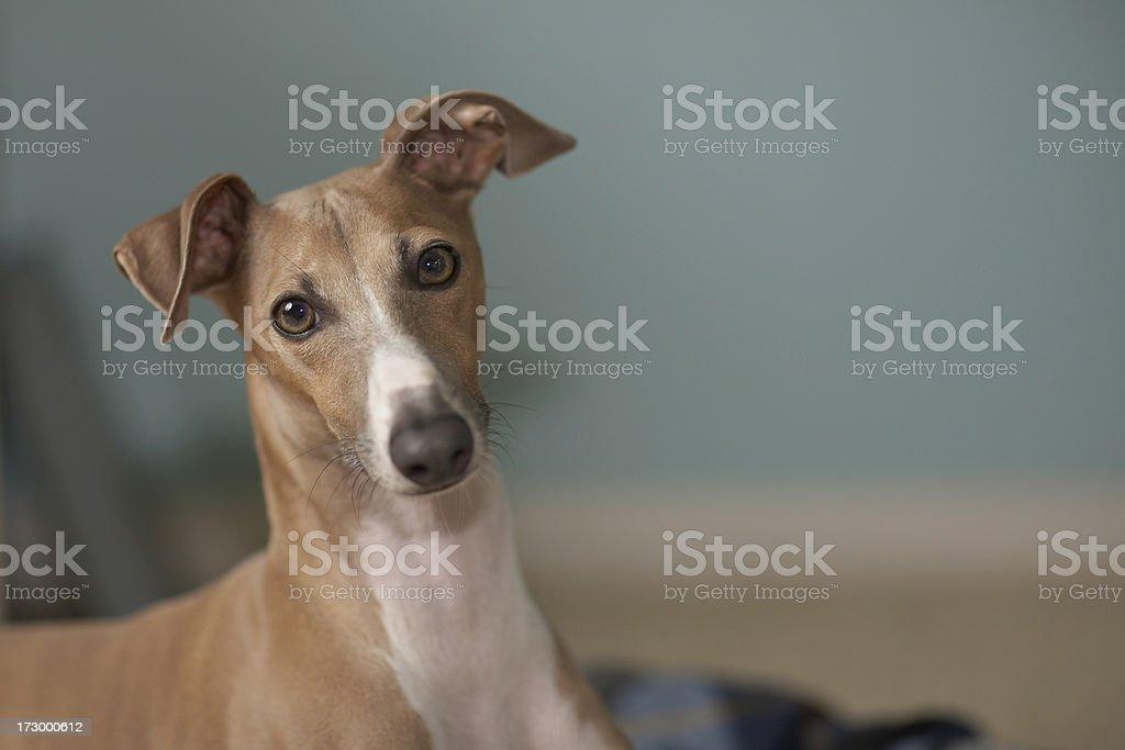 Portrait of an italian greyhound (Milo) stock photo