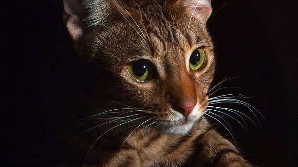 ritratto di un gattino in luce drammatica ocicat - ocicat foto e immagini stock