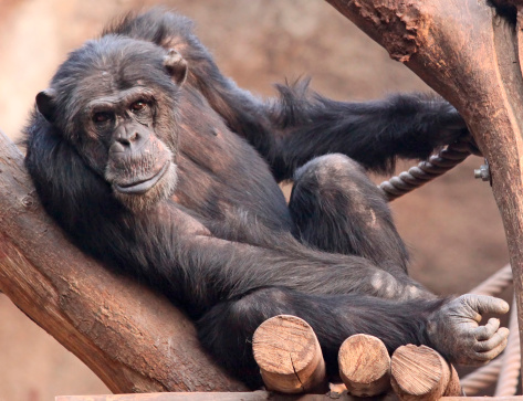 istock Portrait of an old male Schimpanzee 178370858