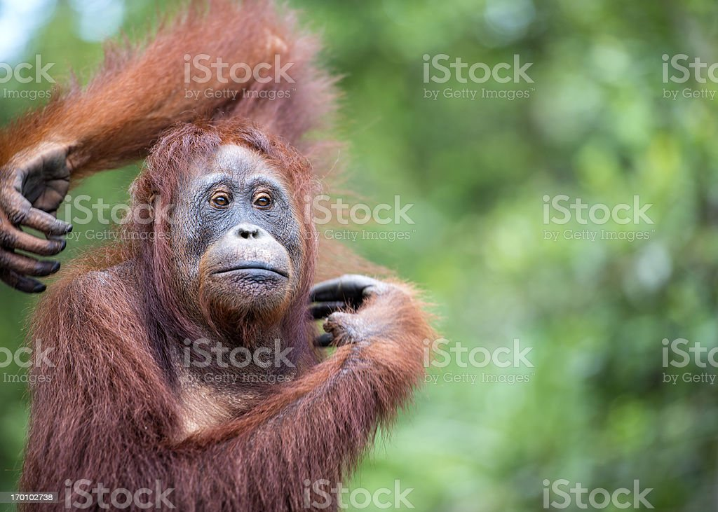 Portrait of an Orang Utan, wildlife shot stock photo