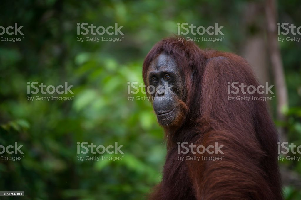 Porträt ein Orang-Utans, wildlife-Aufnahmen – Foto
