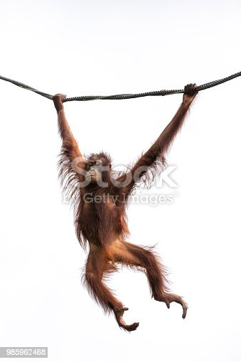 Portrait of a hairy orangutan swinging from a wine against the bright sky. Singapore.