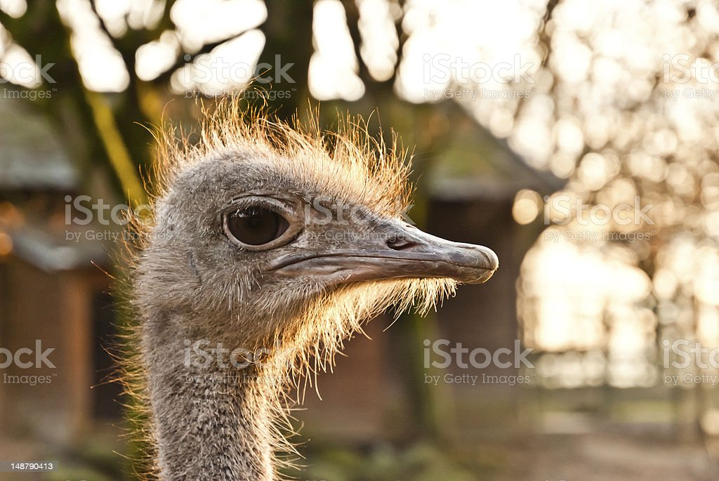 Portrait of an ostrich at dusk royalty-free stock photo