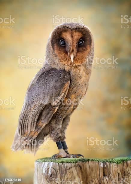 Portrait of an owl picture id1170323419?b=1&k=6&m=1170323419&s=612x612&h=56bzitggrn6a79yuwkfrgrfy wxz40kx3dnq19vuvxc=