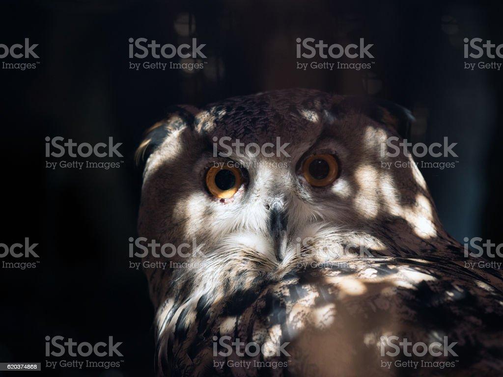 Portrait of an owl. Round eyes, muzzle close zbiór zdjęć royalty-free