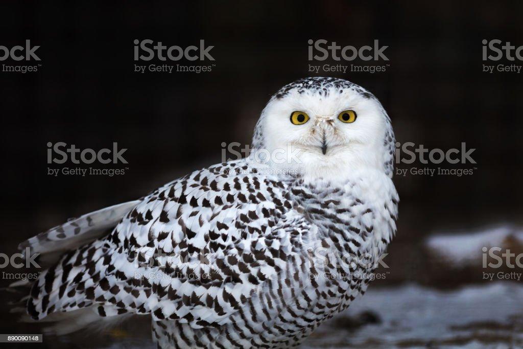 Portrait of an owl, Snowy Owl - Bubo scandiacus stock photo