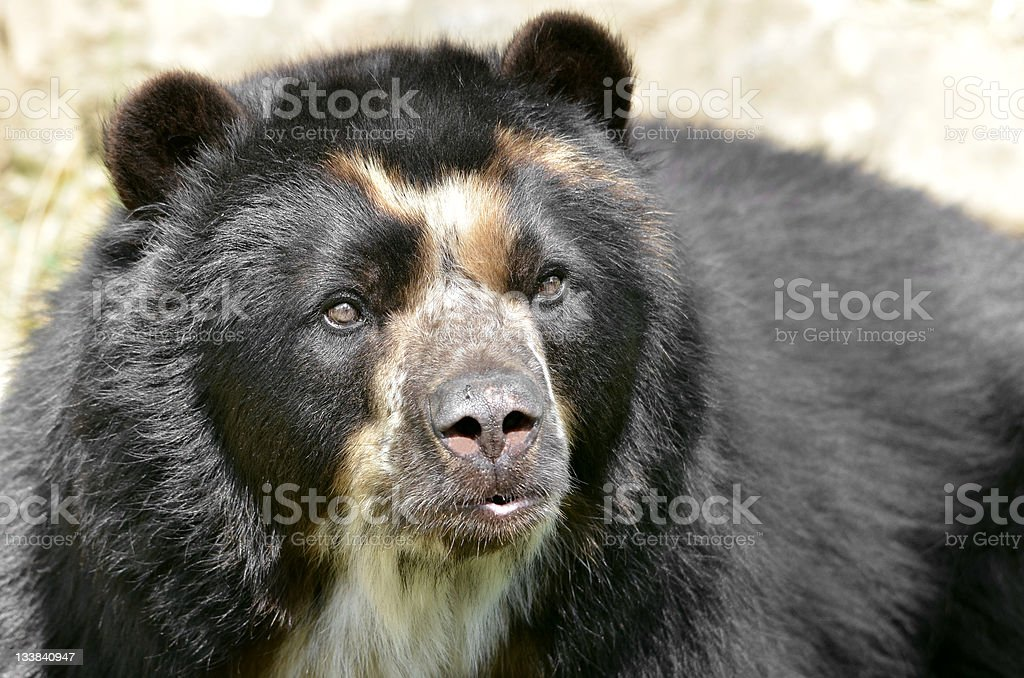 Portrait of Andean bear royalty-free stock photo