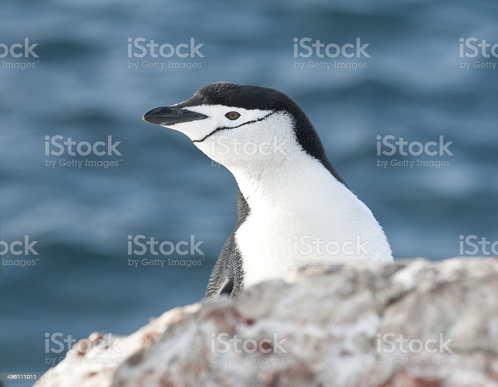 Portrait of Antarctic penguin looking out over the cliff. stock photo
