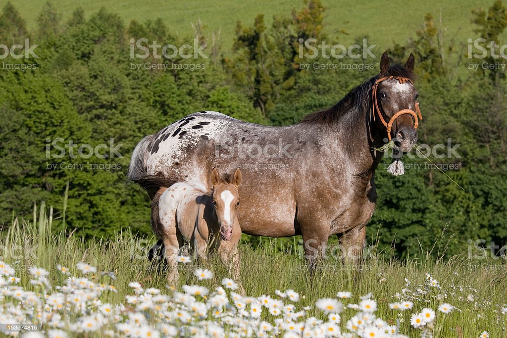 Portrait of appaloosa mare with foal stock photo