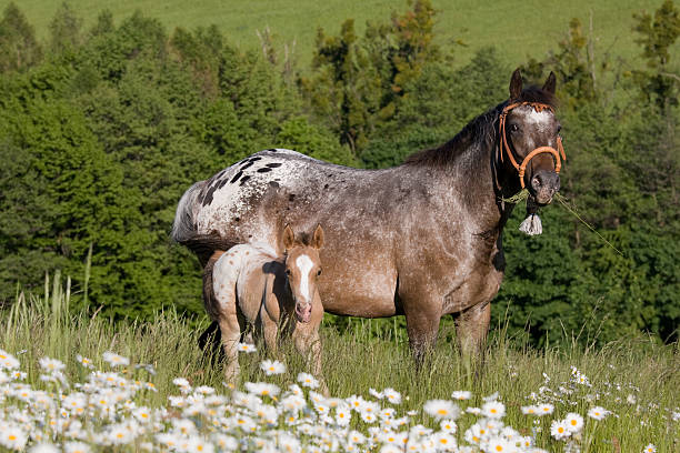 Portrait of appaloosa mare with foal Portrait of nice appaloosa mare with foal appaloosa stock pictures, royalty-free photos & images