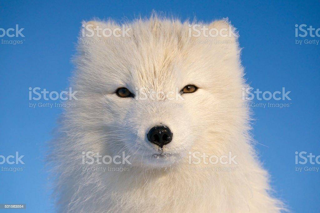 Portrait of Arctic Fox. stock photo