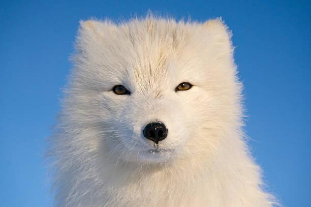 retrato de raposa ártica. - raposa ártica imagens e fotografias de stock