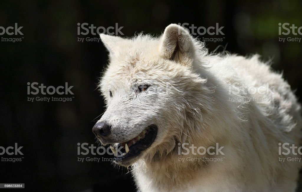 portrait of arctic wolf in nature stock photo