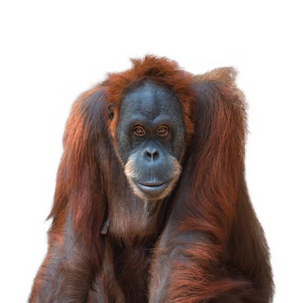 Porträt von asiatischen Orang-Utan auf weißem Hintergrund – Foto