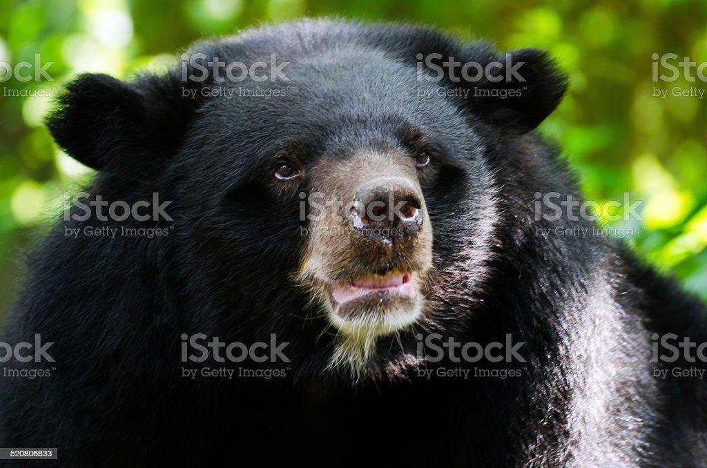 Portrait of Asiatic Black Bear stock photo