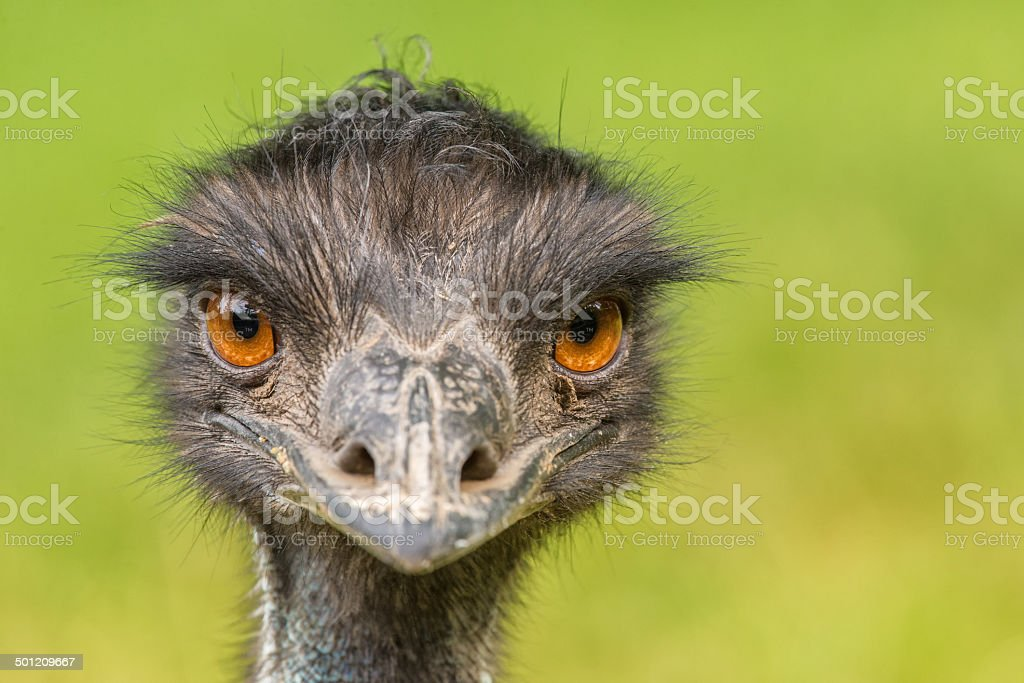 Portrait of Australian Emu stock photo