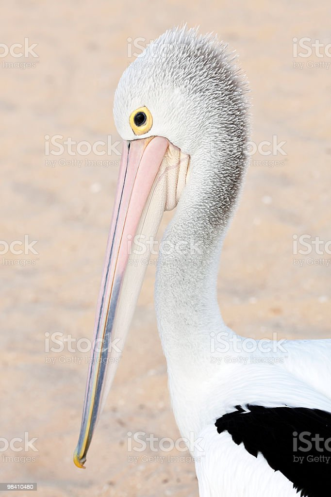 Portrait of Australian pelican. royalty-free stock photo