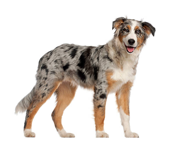 Portrait of Australian Shepherd, 5 and a half months old Portrait of Australian Shepherd, 5 and a half months old, standing in front of white background australian shepherd stock pictures, royalty-free photos & images