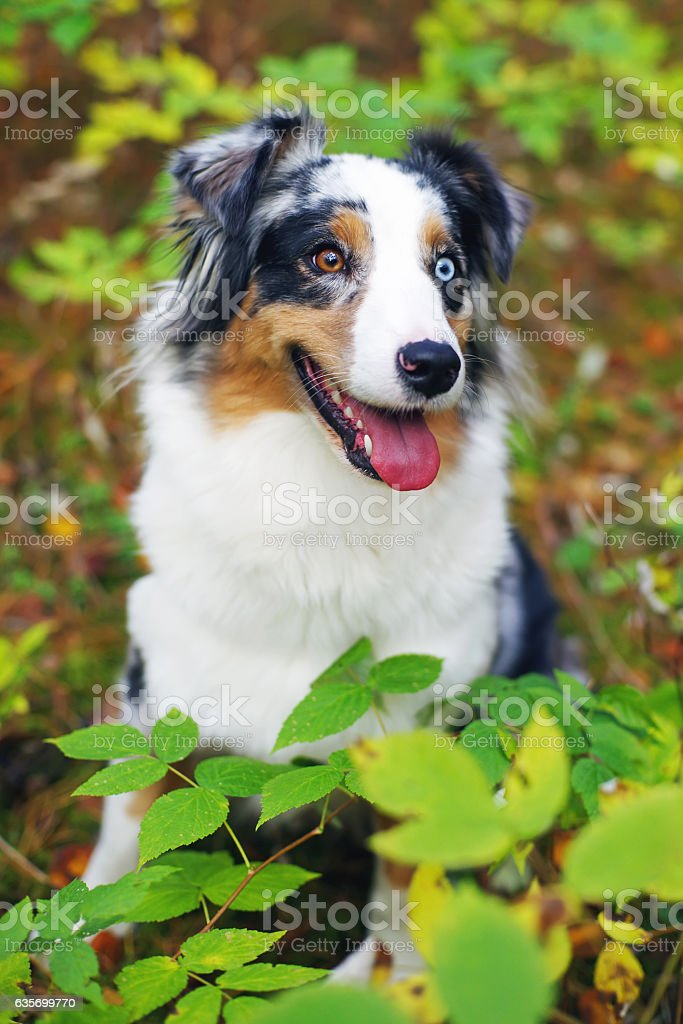 Portrait of Australian Shepherd dog with different colored eyes royalty-free stock photo