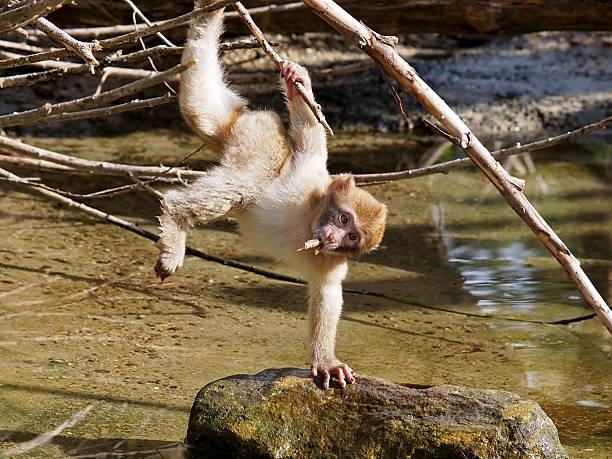 portrait de bébé singe berbère - singe magot photos et images de collection